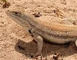 The Dunes Sagebrush Lizard and the Proposed Texas Conservation Plan