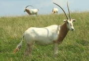 Final Rule for Addax, Dama Gazelle, and Scimitar-Horned Oryx