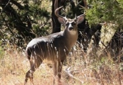 TWA Position Statement on Release of Deer into the Wild