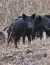 Statement on Warfarin-Based Feral Hog Toxicant