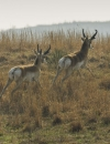 The Problem with Pronghorns