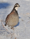 West Texas Ranchers Sustaining Northern Bobwhite Quail Populations