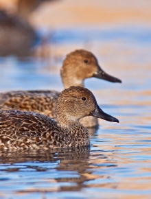 What's Happened to All The Pintails?