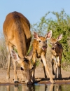 Fawn Production: A South Texas Perspective