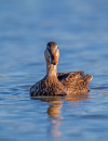 Texas Mottled Ducks