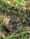 The American Woodcock: A Winter Apparition
