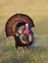 Turkeys Across Texas