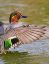 Texas: A Wintering Duck Destination