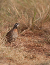 Helping Northern Bobwhite Quail Survive Drought