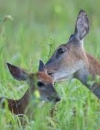 Does and Fawns Shorted at Feeders