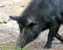 Contact of Feral Swine and Cattle: Implications for Disease Transmission (2010)