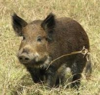 Wild Hog Hunting: Stay Healthy on Your Hunt (2009)