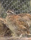 Roost Site Selection and Survival of Pen-Reared Northern Bobwhites (2003)