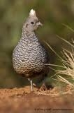 Scaled Quail Management in Trans-Pecos Texas (2008)