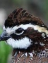 Influence of Rainfall, Type of Range, and Brush Management on Abundance of Bobwhites